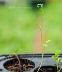ผักชี coriander